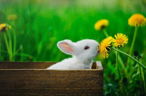 Jak przygotować się do opieki nad królikiem?
